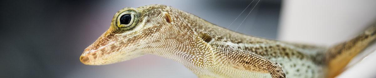 Lizard Header